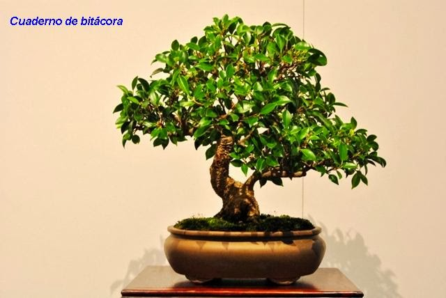 Ficus - Nuno Silvestre
