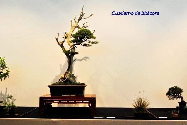 Melhor Bonsai Nacional - Viriato Oliveira